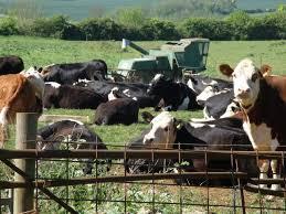 livestock fed antiobiotics